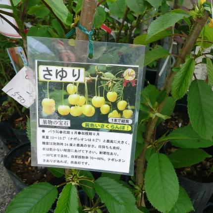 Kiiroisakuranbo